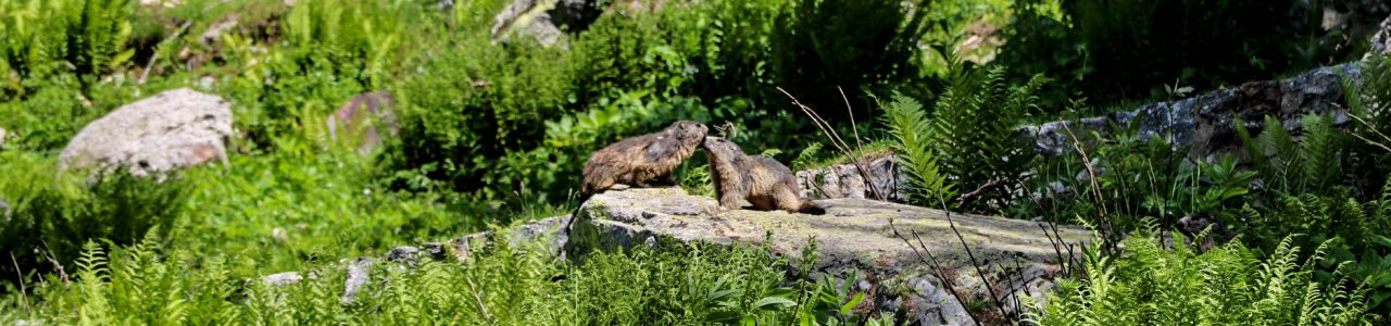 marmottes amoureuses