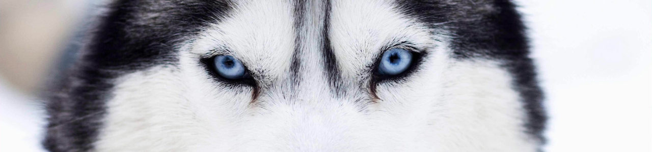 Husky-chiot-elevage-yeux-vairons